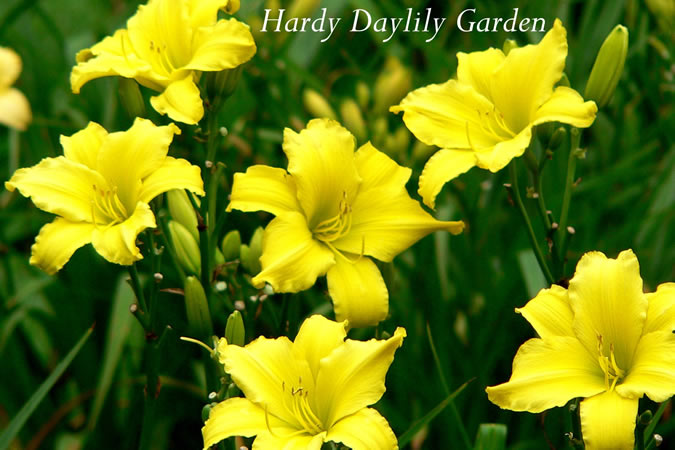 Hardy Daylily Garden Yellow Daylilies