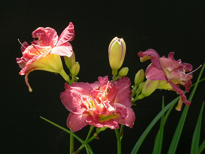 Another Pink Double Daylily Blooming