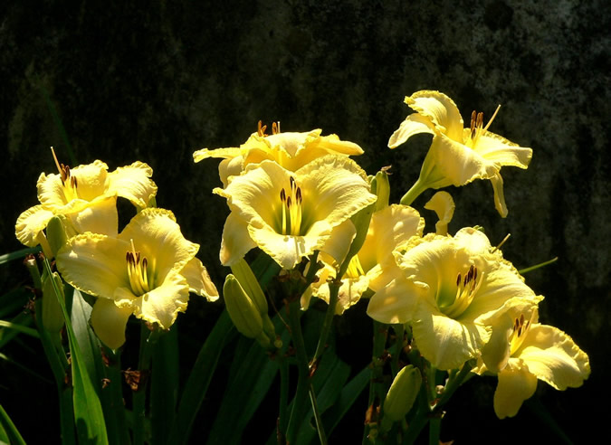Yellow Daylilies in Bloom