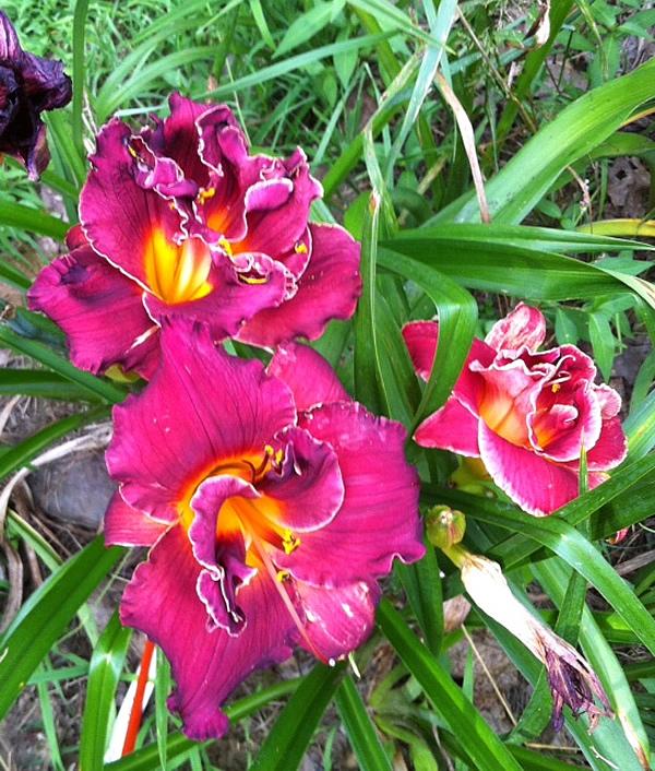 Purple Double Daylily