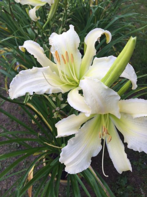 Near White Hybrid Daylily - Spider Variant Style Flower